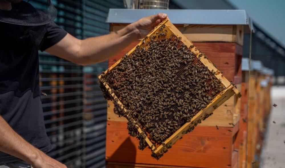 Urban Beekeeping: Warum Bienen auf städtischen Dächern so besonders sind und wie sie der Umwelt helfen